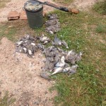 Opening Day Dove in Northeastern Co. Beaus Outdoors Limits